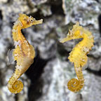 Lined Seahorse, Captive-Bred ORA®