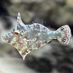 Aiptasia Eating Filefish - Captive-Bred ORA®