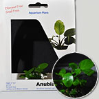 Anubias Nana - Tissue Cultured