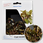 Bronze Cryptocoryne - Tissue Cultured