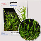 Cyperus Plant - Tissue Cultured