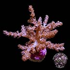LiveAquaria® CCGC Aquacultured Taro Tree Coral