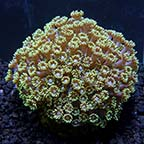 Marshall Island Long Polyp Goniopora Coral, Aquacultured ORA®