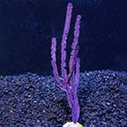 Purple Ribbon Gorgonian Sea Fan