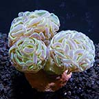 LPS Frag 5 Pack, Aquacultured ORA®
