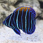 Blue Girdled Angelfish, Captive-Bred