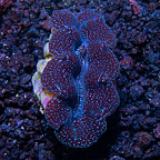 First Grade Crocea Clam, Aquacultured ORA®