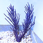 Purple Brush Gorgonian Sea Fan