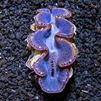 Maxima Clam First Grade, Aquacultured