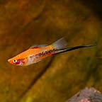 Sanshoku Swordtail