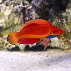 Blue Throat Fairy Wrasse