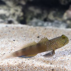 Spotted Watchman Goby