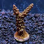 Micronesian Red Tip Green Acropora Coral, Aquacultured ORA®