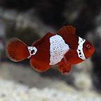 Lightning Maroon Clownfish, Captive-Bred ORA ®