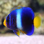 West African Angelfish