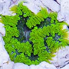 Rock Flower Anemone, Green