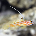 Yasha White Ray Shrimp Goby