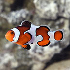 Gladiator Clownfish - Captive-Bred ORA®