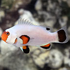 Wyoming White Clownfish, Captive-Bred