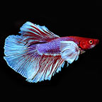 Dumbo Ear Super Delta Mixed Color Male Betta
