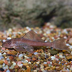Plecostomus Fish: Plecos and other Catfish for Sale