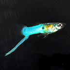 Japanese Blue Swordtail Male Guppy