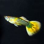 Yellow Sunrise Male Guppy