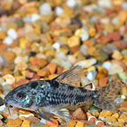 Peppered Cory Cat