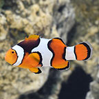 Onyx True Percula Clownfish, Captive-Bred, ORA®