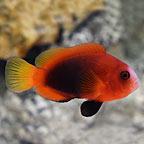 Cinnamon Clownfish Naked, Captive-Bred, ORA®