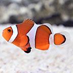 Stubby Ocellaris Clownfish Captive-Bred ORA®