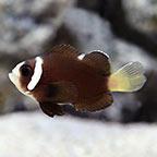 McCullochi Clownfish Captive-Bred ORA®