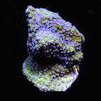 Micronesian Assorted Summer SPS Coral Frag 5 Pack, Aquacultured ORA®
