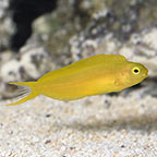 Canary Blenny, Captive-Bred, ORA®