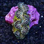 Black & Colored Ultra Grade Maxima Clam, Aquacultured ORA®