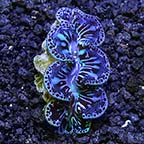 Ultra Grade Colored Maxima Clam, Aquacultured ORA®