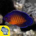 Coral Beauty Angelfish, Captive-Bred Biota