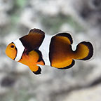 Black Photon Clownfish, Captive-Bred