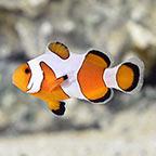 Davinci Clownfish Grade A, Captive-Bred
