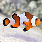 Wide Bar Mocha Gladiator Clownfish, Captive-Bred