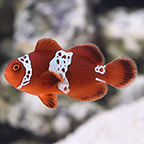 Lightning Marooon Clownfish, Captive-Bred