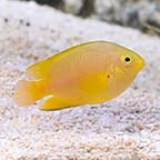 Lemon Damselfish