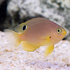 Ambon Damselfish, Captive-Bred