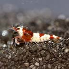 Red King Kong Shrimp