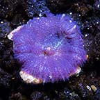 Bullseye Rhodactis Mushroom Coral, Purple, Aquacultured ORA®