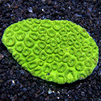 Neon Green Favia Coral Frag (Aquacultured)