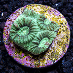 Green Favia Coral, Aquacultured