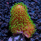 Assorted Maricultured Soft Coral 3 Pack