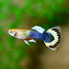 Sunray Guppy, Male