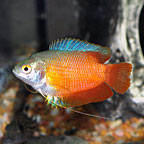 Gouramis: Dwarf Gouramis and other Gourami Fish Species